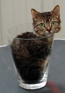 World's Smallest Cat: 15.5 cm (6.1-inch) high and 49 cm (19.2-inch) long - Mr. Peebles