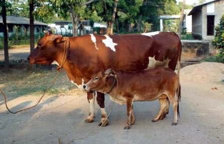 World's Smallest Cattle: 81 cm (31-inch) height - Vechur cow