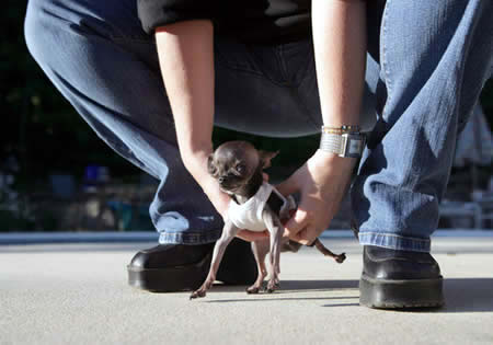 World's Smallest Dog: 12.4 cm (4.9-inch) tall - Chihuahua