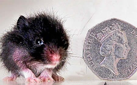World's Smallest Hamster: 2.5 cm (0.9-inch) tall - PeeWee