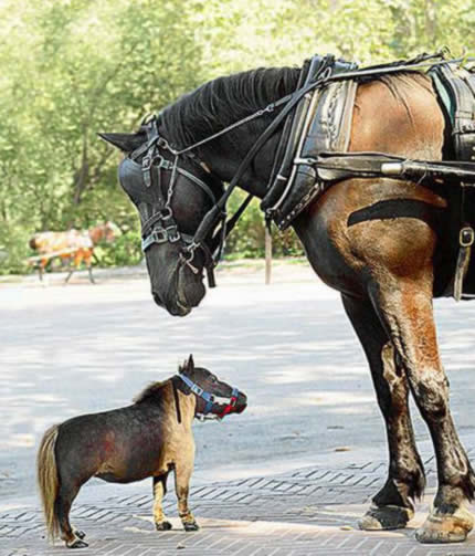 World's Smallest Horse: 43.18 cm (17-inch) tall - Thumbelina