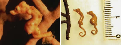 World's Smallest Seahorse: 16 mm (0.6-inch) long - Hippocampus denise