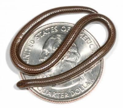 World's Smallest Snake: 10.1 cm (4-inch) long - Leptotyphlops carlae