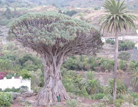Three of the world's oldest trees are found in Africa. The actual age of the Cotton Tree in Sierra Leone's Freetown is uncertain, but its existence has been noted since 1787 - 225 years. South Africa's Wonderboom Nature Reserve protects a wild fig estimated to be over a thousand years old. And a dragon tree on the Canary Islands is also thought to be at least that old